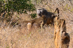 Baboon - Bärenpavian (naturgucker.de) Tags: ngid1603169265 papioursinus bärenpavian