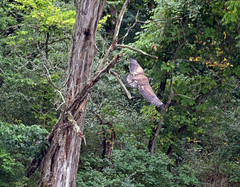 Juvenile bald eagle (carpingdiem) Tags: baldeagle juvenile baby indianapolis summer 2019 birds