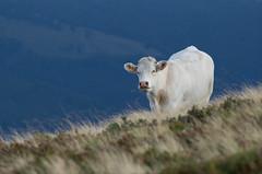Dans la série vache : le charolais (Gisou68Fr) Tags: charolais race vache boeuf montagne vosges kastelberg chaumes cow white blanc blanche