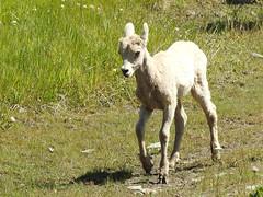 DSCN4392 (pamfromcalgary) Tags: animal animals bighornsheep kananaskis pamhawkes