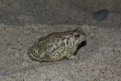 A Toad on the Beach (brucetopher) Tags: fowler fowlers toad frog amphibian hop hopping beach sand creature small little animal earth ground nature natural bumpy warts bumps lump lumpy wild wildlife camouflage blendin speckled mottled pattern anaxyrus fowleri anaxyrusfowleri