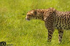 Cheetah Stalking (Mike House Photography) Tags: cheetah mammals mammal spots big cat 5 green grass long brush scrub cats feline african africa savannah