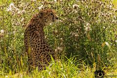 Cheetah in the Brush (Mike House Photography) Tags: cheetah mammals mammal spots big cat 5 green grass long brush scrub cats feline african africa savannah
