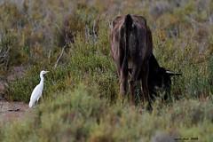 (Enllasez - Enric LLaó) Tags: esplugabous garcillabueyera aves aus bird birds ocells pájaros deltadelebre deltadelebro delta 2019