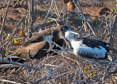 Magnificent Frigatebird (Fregata magnificens) - 20190714-10 (sue.milks) Tags: adult female chick