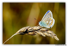 Common Blue Butterfly (pete #hwcp) Tags: depthoffield hwcp butterfly nikonp1000 summer wickedweasel common blue