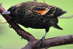 2018-12-18 Red-winged Blackbird (02) (1024x680) (-jon) Tags: anacortes fidalgoisland sanjuanislands skagitcounty skagit washingtonstate pnw pacificnorthwest bird blackbird redwinged redwingedblackbird agelaiusphoeniceus backyard d90archives a266122photographyproduction washington
