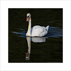 Swan head on (prendergasttony) Tags: swan square rspb reflection water wildlife wings wild tonyprendergast nikon d7200 swim nature northwest bird border birdwatching birding