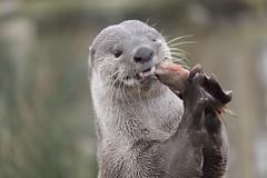 Hunter (Jacko 999) Tags: canon eos 450d efs55250mm f456 is ii ƒ56 1540mm 1200 iso640 roberteede eede robert nature wild wildlife otter fish food eat eating