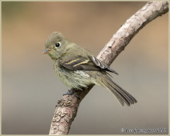 Pacific-slope Flycatcher (pandatub) Tags: ebparks ebparksok bird birds flycatcher pacificslopeflycatcher ardenwood