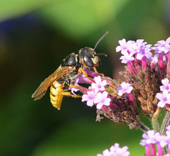 Photo of Bee Wolf