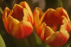 Home made shot (ninayak- Off till Dec 1st) Tags: home made shot tulip nikon micro nikkor 60mm lens