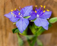 Purple Pair (risaclics) Tags: pair 60mmmacro abstractmacro august2019 closeup nikond610d colorful flora flowers petals purple stamen violet yellow goestogetherlike macromondays