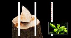 - hope - (Jac Hardyy) Tags: hope stump stumps tree trees deforestation logging environmental degradation destroy destroyed coniferous wood conifer new shoots shoot sustainability wooden wedge baum bäume baumstumpf abgesägt abgeholzt abholzung umwelt umweltzerstörung zerstörung zerstört nadelholz neue triebe trieb nachhaltigkeit hoffnung holz keil holzkeil konifere