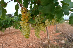 El Moscatell pogresa adecuadament, el Penedès. (Angela Llop) Tags: muscat catalonia penedes barcelona winelovers nature harvest