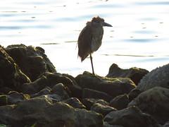 Yellow-crowned Night Heron (stonebird) Tags: yellowcrownednightheron img4845 nyctanassaviolacea ballonacreekestuary august