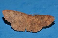 4 spot moth Hyperythra sp aff lutea Ennominae Geometridae Mandalay rainforest Airlie Beach P1022846 (Steve & Alison1) Tags: 4 spot moth hyperythra sp aff lutea ennominae geometridae mandalay rainforest airlie beach