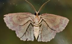 4 spot moth Hyperythra sp aff lutea Ennominae Geometridae Mandalay rainforest Airlie Beach P1022839 (Steve & Alison1) Tags: 4 spot moth hyperythra sp aff lutea ennominae geometridae mandalay rainforest airlie beach