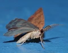 4 spot moth Hyperythra sp aff lutea Ennominae Geometridae Mandalay rainforest Airlie Beach P1022853 (Steve & Alison1) Tags: 4 spot moth hyperythra sp aff lutea ennominae geometridae mandalay rainforest airlie beach