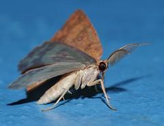 4 spot moth Hyperythra sp aff lutea Ennominae Geometridae Mandalay rainforest Airlie Beach P1022852 (Steve & Alison1) Tags: 4 spot moth hyperythra sp aff lutea ennominae geometridae mandalay rainforest airlie beach