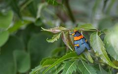 Egybolis vaillantina - Peach moth (cradenborg) Tags: c cceradenborg 2019 dianibeach egybolisvaillantina kenia kenya kwale nachtuilen nachtvlinder nature noctuidae openbaar peachmoth public safari wildlife