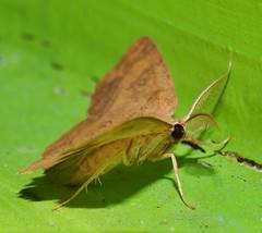 4 spot moth Hyperythra sp aff lutea Ennominae Geometridae Mandalay rainforest Airlie Beach P1022838 (Steve & Alison1) Tags: 4 spot moth hyperythra sp aff lutea ennominae geometridae mandalay rainforest airlie beach