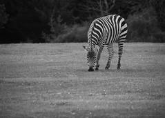 Yum (jaomul) Tags: zebra acdsee nikon wildlife fota