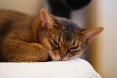 Tired girl (DizzieMizzieLizzie) Tags: abyssinian aby dizziemizzielizzie portrait cat feline gato gatto katt katze kot meow pisica neko gatos chat ilce pose classic golden bokeh dof 2019 lizzie sony a7iii ilce7m3 fe 135mm f18 gm tired girl