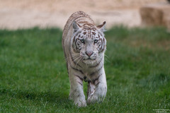 Walking white tiger (Toruko Photography) Tags: a7rii animals big blue brown cat close color ears eyes face grass green nature nose portrait sony switzerland walking white whitetiger wild zoo