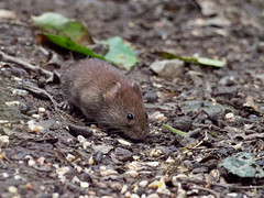 Vole ?? (peak4) Tags: deep hayes country park olympus high iso em1 mk2 staffordshire