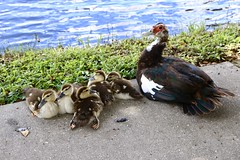 Keep Your Ducks in a Row (david11eiu) Tags: blue lake green nature water colors grass animal animals mom outside outdoors duck colorful duckling ducks ducklings mama row linedup uglyduckling ducksinarow mamaduck babies