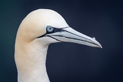 Gannet portrait (Sueyork58) Tags: gannet bempton rspb yorkshire wildlife seabirds birds portrait