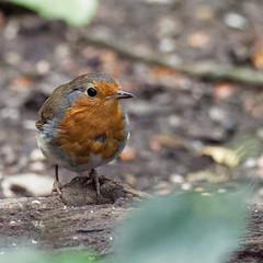 Robin (peak4) Tags: deep hayes country park olympus high iso em1 mk2 staffordshire robin
