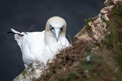 Taking a nap (Sueyork58) Tags: gannet wildlife bempton yorkshire bird seabirds