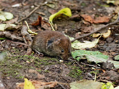 Bank Vole ?? (peak4) Tags: deep hayes country park olympus high iso em1 mk2 staffordshire vole