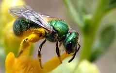 Peridot Bee (Augochlorella pomoniella) (J.Thomas.Barnes) Tags: