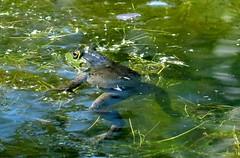 Thursday's frog (EcoSnake) Tags: americanbullfrog lithobatescatesbeiana frogs amphibians water wildlife summer august idahofishandgame naturecenter
