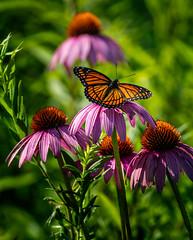 Never a King (Portraying Life, LLC) Tags: da3004 hd14tc k1mkii michigan pentax ricoh topazaiclear unitedstates butterfly closecrop handheld nativelighting meadow coneflower count wild