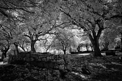 Old Panama (Bernai Velarde-Light Seeker) Tags: panama viejo old trees ruins blackandwhite monochrome bernai velarde