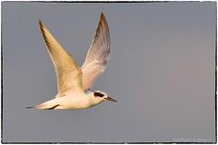 Forster's Tern (RKop) Tags: 600mmf4evr raphaelkopanphotography d500 florida fortdesotostatepark
