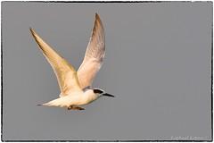 Forster's Tern (RKop) Tags: d500 600mmf4evr raphaelkopanphotography florida fortdesotostatepark