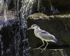 02469376422782-115-19-08-Black-Crowned Night Heron-23 (You have failed me for the last time Jim) Tags: 2019 america august blackcrownednightheron canon5dmarkiv lasvegas nevada tamronsp150600mmf563divcusdg2 animal bird pond water