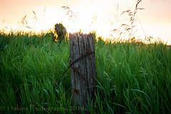 The Hidden Post (HFF) (13skies) Tags: light sundown field grass wirefence wireandpost happyfencefriday canont3i distance far bright fencefriday hff countryside countryroad