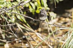 Black Phoebe, juvenile - Rarity #2 (featherweight2009) Tags: blackphoebe sayornisnigricans phoebes tyrantflycatchers flycatchers birds rarities