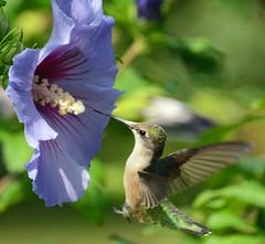 Ruby-throated Hummingbird and Rose of Sharon (ctberney) Tags: rubythroatedhummingbird archilochuscolubris roseofsharon flower bird hovering hunting garden backyard nature ontario canada
