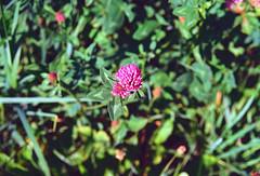 Pink Clover (Bephep2010) Tags: 2019 blume klee lomography lomographycolornegative400 olympus olympusafzoom35180mm145156 olympusis3 olympusis3000 photoexif rüttenen schweiz solothurn sommer switzerland analog analogue clover flower pink rosa summer kantonsolothurn