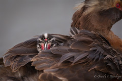 Peek-A-Boo !!! (Turk Images) Tags: hornedgrebe stormwaterpond podicepsauritus alberta birds edmonton grebes hogr podicipedidae waterbirds