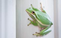 Greeeeeeeeen Tree Frog (Duluoz Me) Tags: green tree frog summer rana verano verde arbol arbor shower outdoor nature amphibian macro eyes eye detail dof closeup white blanco detalles ojos afuera naturaleza ducha composition