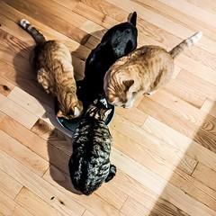 (I-C-THNGS (David Starling)) Tags: catorange black tabby dinner eating 4 four siblings