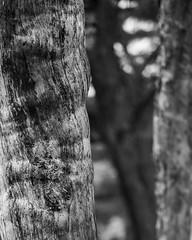 Trees in Perspective (Kozma Shots) Tags: trees treebark bokeh perspective blackandwhite monochrome bw